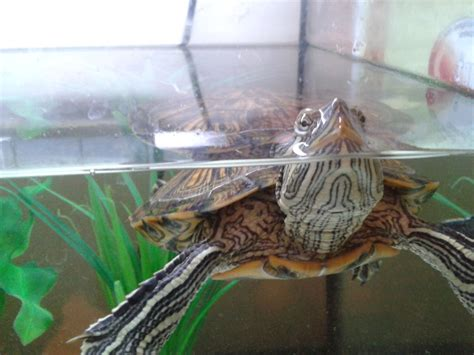 the gallery for gt red ear slider turtle