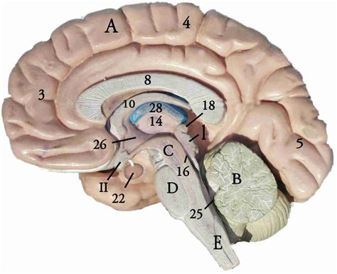 midsagittal section of human brain new page 1 www2 palomar edu