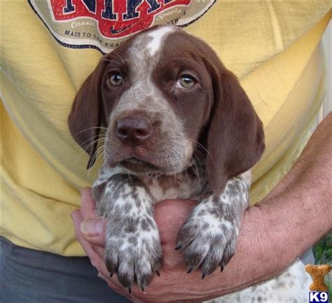 german shorthaired pointer puppies for sale in michigan german shorthaired pointer puppy for sale gsp puppies for sale females 7 years