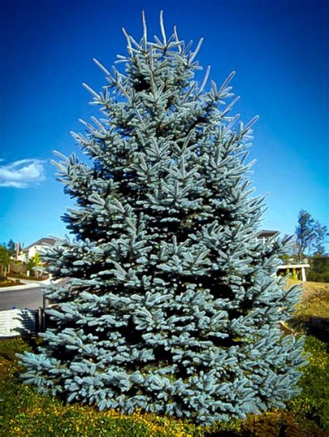 colorado blue spruce trees buy online at nature hills buy privacy trees online the tree center