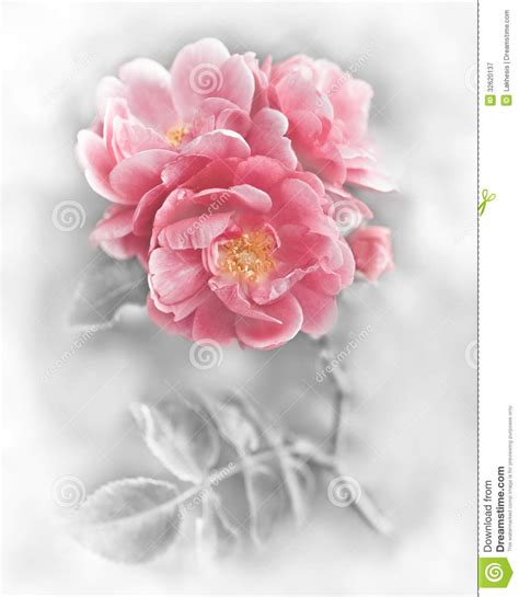 colorful roses wallpaper in romantic roses abstract romantic pink roses flowers stock image image