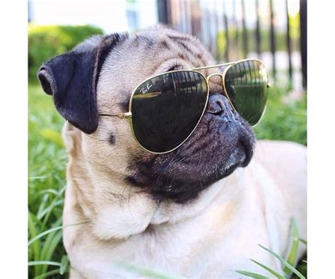 pug with sunglasses 30 most beautiful pug pictures and images