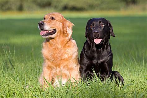 golden retriever labrador retriever labrador retriever golden retriever sitzend hundefoto hundebild foto bild belcani
