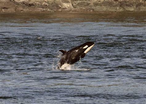 Senar Orca Eagle 50 M whale crews say salish sea s orca calves are doing well bellingham herald