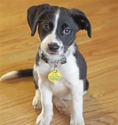 border collie pitbull mix puppies border collie pitbull mix puppies