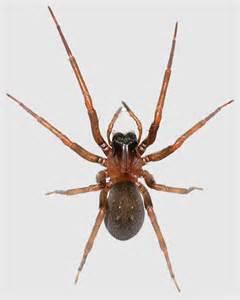 La Spider Metaltella Simoni Hacklemesh Weaver Louisiana Spider