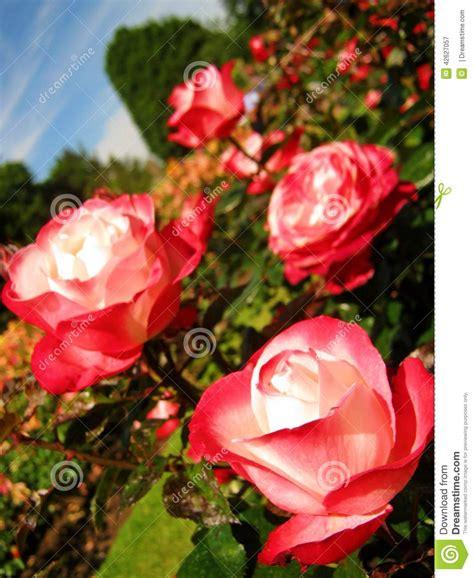 un jardin de rosas rojas rosas rojas blancas en un jard 237 n foto de archivo imagen