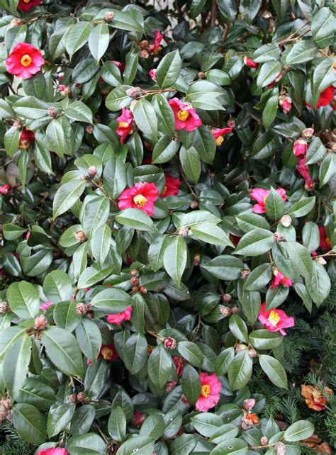 plant of the week the camellia stately kitsch