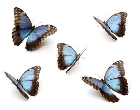 12 24 3d blue butterfly blue butterfly animal