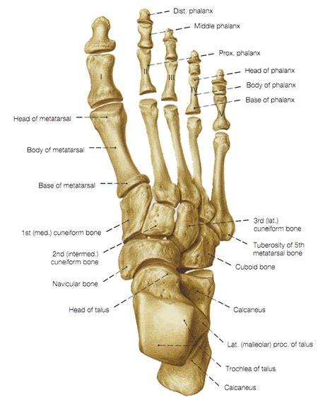 anatomy bones foot bone anatomy pictures dorsal foot bone anatomy