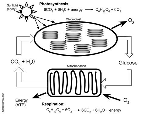 photosynthesis diagram worksheet answers photosynthesis and respiration model cells