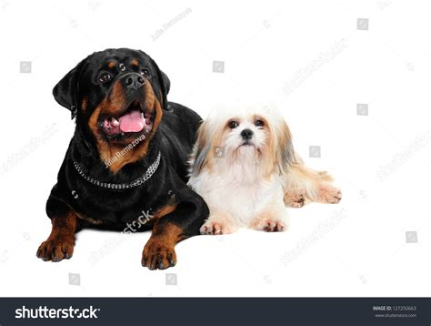 shih tzu rottweiler rottweiler and a shih tzu in studio stock photo 127250663