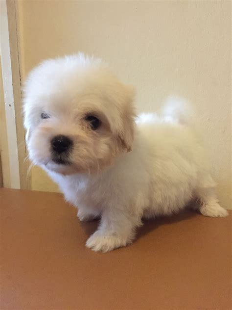maltese bichon puppies for sale maltese bichon puppies manchester greater manchester pets4homes