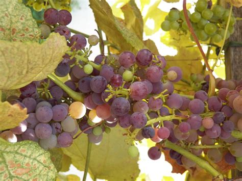 how to grow grapes in your backyard growing grapes in your backyard grimm s gardens