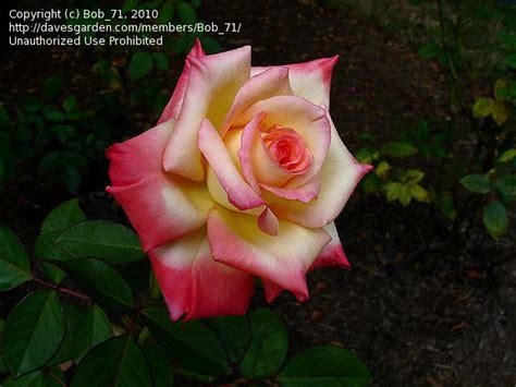 diana princess of wales rose plantfiles pictures hybrid tea rose diana princess of