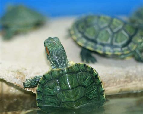 tartaruga d acqua alimentazione tartarughe d acqua animali domestici silenziosi e