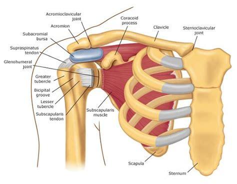 shoulder images shoulder program