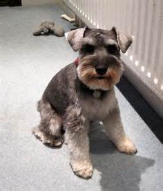 different cuts for schnauzers female miniature schnauzer haircuts styles picture of