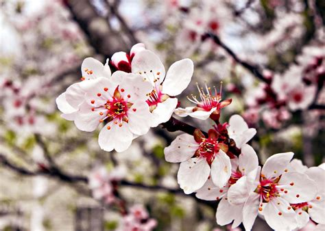 its a southern thing flowering plum tree