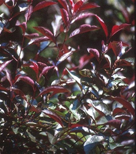 purple leaf shrub with pink flowers 98 best images about bushes on trumpet