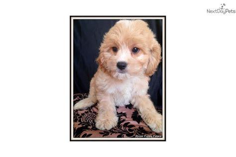 cavapoo puppies florida cavapoo puppy for sale near ta bay area florida d14f2755 e611