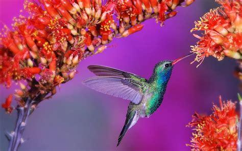 colibr fondos de pantalla 1920x1200 432 colibri ave animales plantas flores naturaleza fondos de