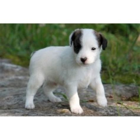 yorkie poo rescue va starview a poos terrier breeder in bronston kentucky