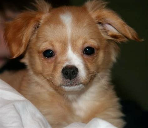 chihuahua mixed with pomeranian pomchi pomeranian and chihuahua mix spockthedog