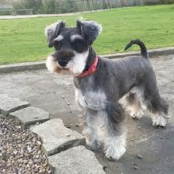 best 25 schnauzer grooming ideas on schnauzer