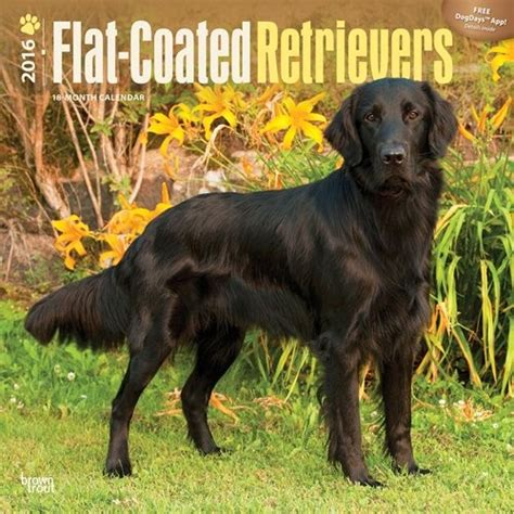 libro the flat coated retriever calendario 2018 flat coated retriever europosters it