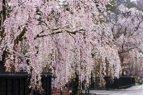 cherry tree unripe weeping cherry trees top 10 list of cascading faves