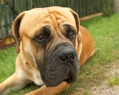boerboel mastiff puppies pin by breeds on boerboel