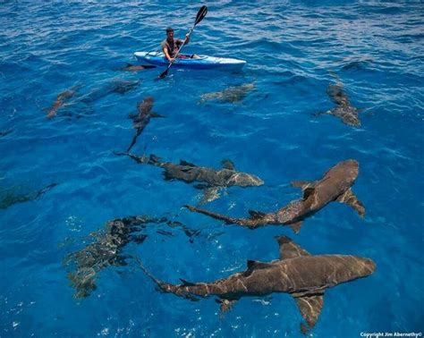 row your boat baby shark 17 best images about sharks on pinterest whale sharks