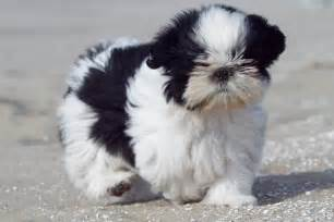 Smallest dog in the world 2014 world s five smallest dogs