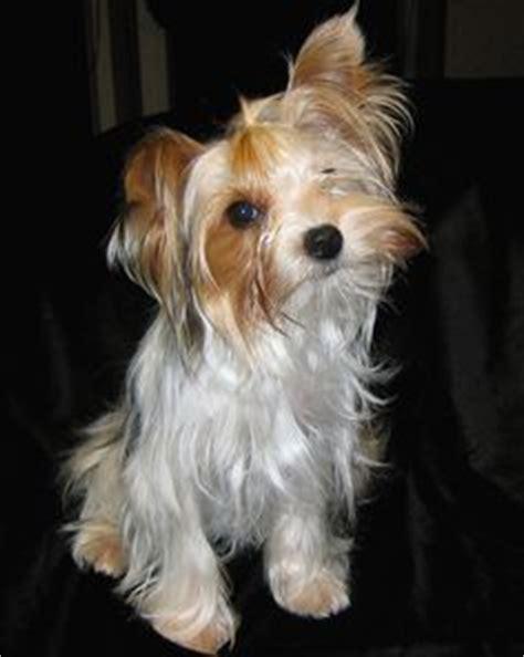 white mini yorkie black white terrier puppy yorkie yorkie photos