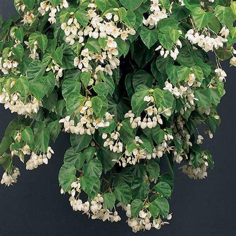 begonia solananthera begonia species fragrant plants