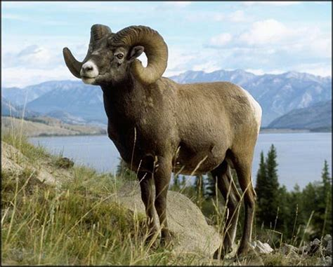 mountain ram great project for stanley marketplace in co