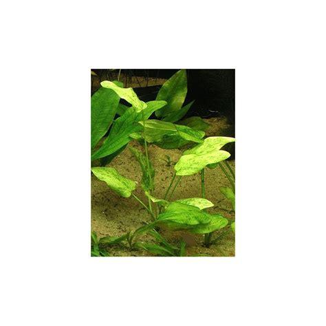 Echinodorus Marble echinodorus marb