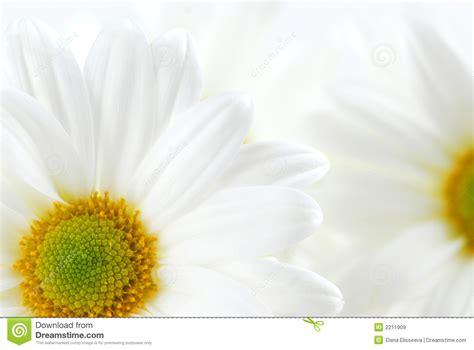 imagenes margaritas blancas margaritas blancas