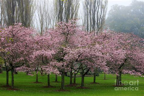 5 cherry tree grove cherry blossom grove photograph by gee lyon