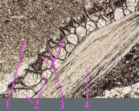 brachiopod thin section micrite thin section www pixshark com images galleries