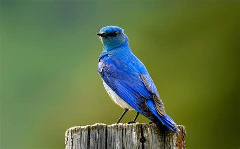 blue bird wallpaper 711602