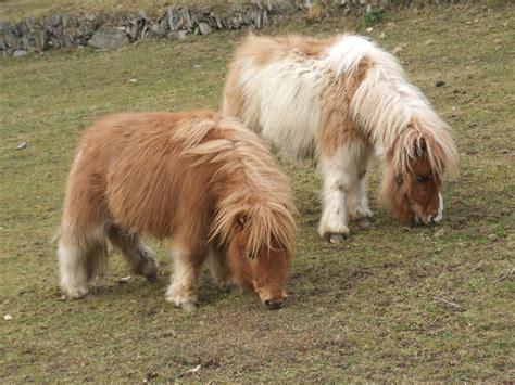 Minie Setelan by Hericus Miniature Shetland Pony Stud New Home For Beau