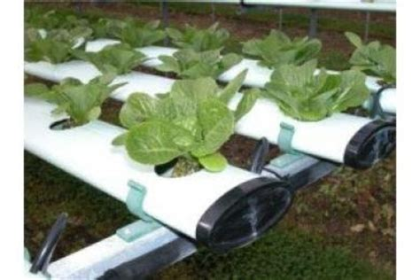menanam anggur hidroponik cara menanam tanaman dengan media hidroponik by
