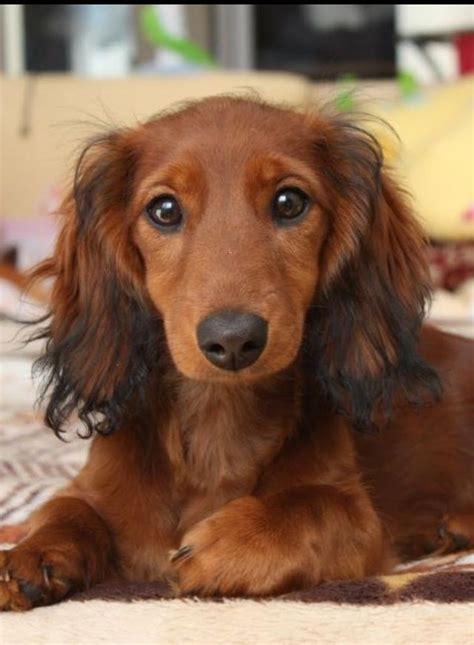 hair weiner beautiful haired dachshund haluan wanted