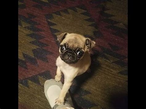 guppy the pug guppy the pug moment