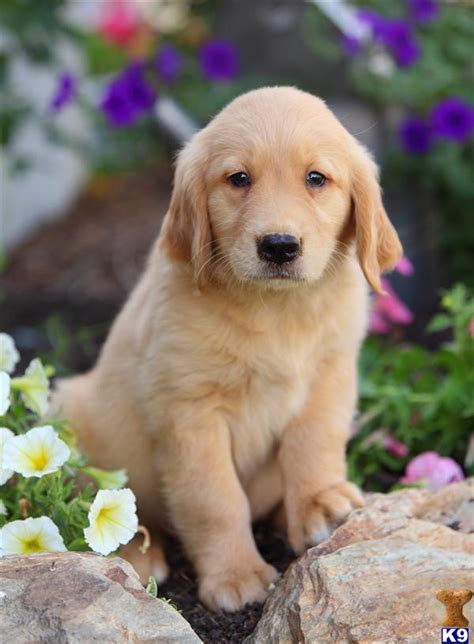 golden retriever breeders in pennsylvania golden retriver puppies in pa breeds picture