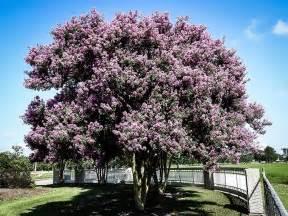 Charleston Single House crepe myrtle crepe myrtle trees the tree center