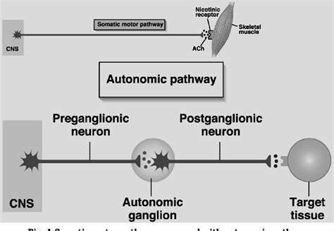 motor pathways   autonomic nervous system