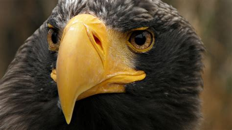 eagle tattoo hd wallpaper baby baby desert eagle hd wallpaper wallpapersafari